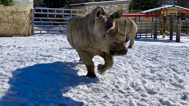 The San Antonio Zoo shared photos of its animals playing in the snow. - TWITTER / SAN ANTONIO ZOO, AC SPECIALIST KERIAN