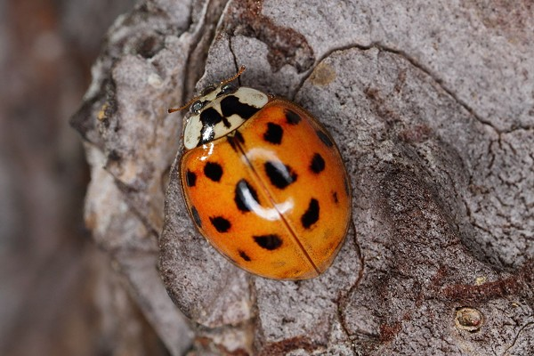 WIKIPEDIA, ASIAN LADY BEETLE