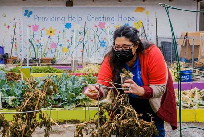 Anna-Lisa Esquivel, a project coordinator for Catholic Charities of San Antonio, picks through plants lost during the winter storm. - CHRISTOPHER LEE / TEXAS TRIBUNE