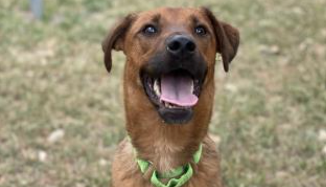 Labrador Retriever mix Aristotle is one of the dogs available for adoption. - COURTESY / ANIMAL DEFENSE LEAGUE OF TEXAS