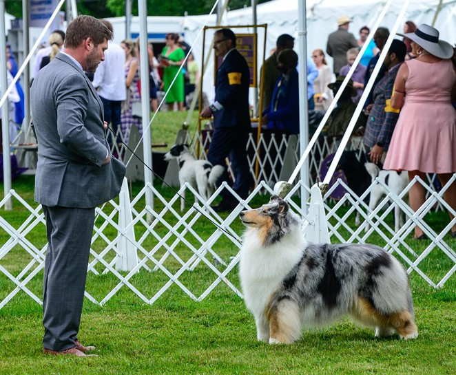 Fannie at Westminster. - COURTESY OF MAVERICK COLLIES