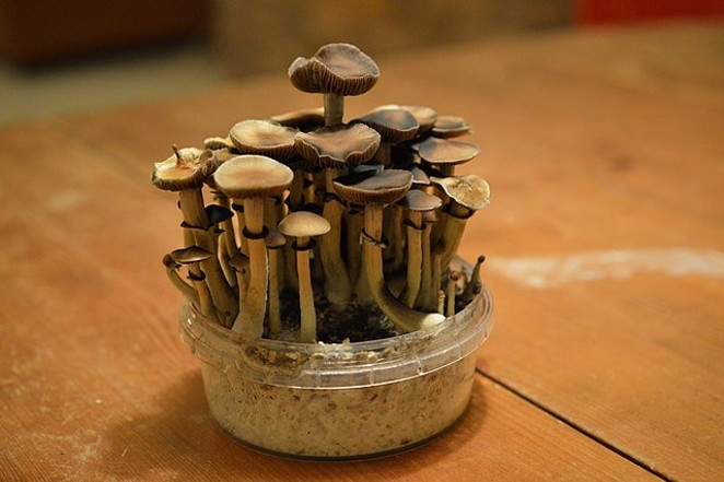 Texas will now study whether psilocybin and other psychedelic substances can help veterans struggling with PTSD. - WIKIMEDIA COMMONS / CANNABIS PICTURES