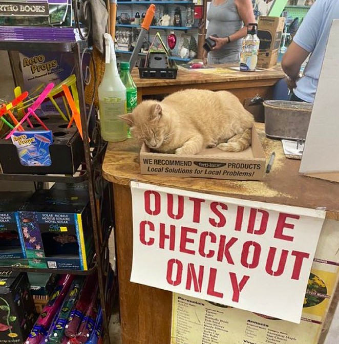 Rainbow Gardens' resident cat Moose has been featured on by social media behemoth Bodega Cats. - TWITTER / BODEGACATS_