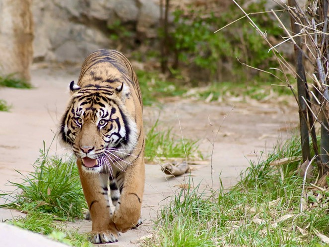 The zoo's Sumatran tigers will be among the first animals to receive the Zoetis COVID-19 vaccine. - COURTESY OF SAN ANTONIO ZOO