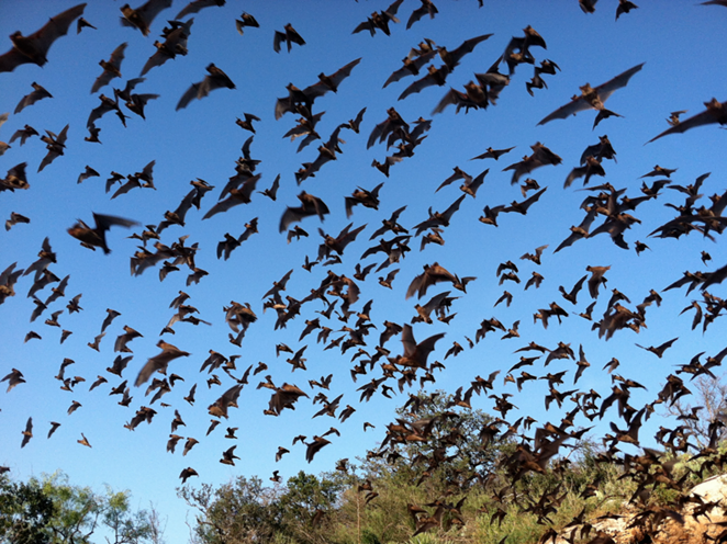 Mexican Free-tailed bats flying out of Bracken Cave - FLICKR, U.S. FISH AND WILDLIFE SERVICES