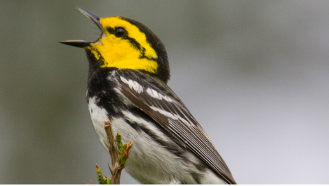 The golden-cheeked warbler only nests in central Texas ash-juniper and oak trees from March to July. -  U.S. FISH AND WILDLIFE WEBSITE