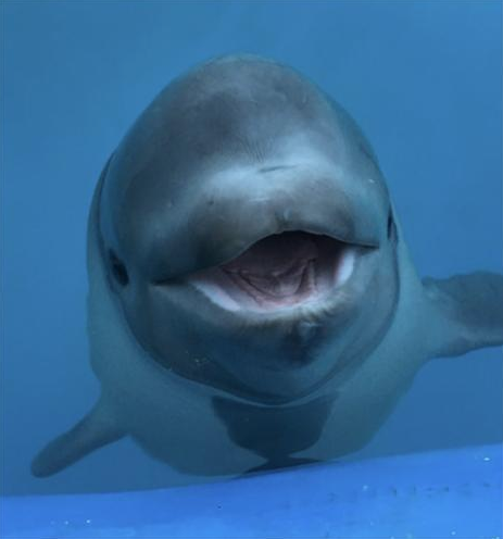 Tyonek the Cook Inlet beluga whale - NATIONAL OCEANIC AND ATMOSPHERIC ADMINISTRATION