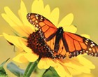 Migratory Monarch Decline Highlights Larger Problem of Pollination