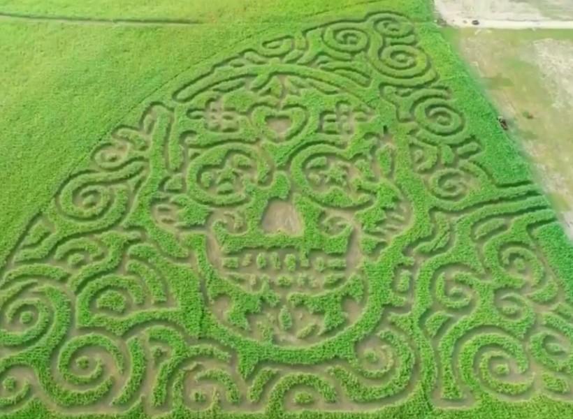 Circle N Maze's latest creation is cut into the image of a Dia de los Muertos sugar skull. - COURTESY PHOTO