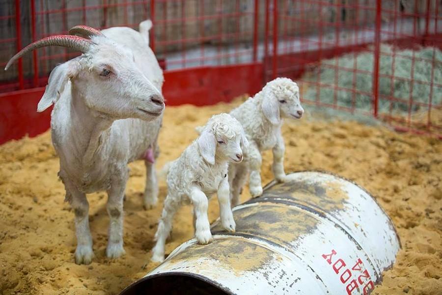 Goats being cute at the SA Rodeo. - FACEBOOK, SA RODEO