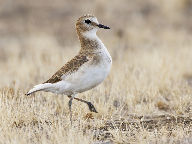 Mountain plover - WIKIPEDIA