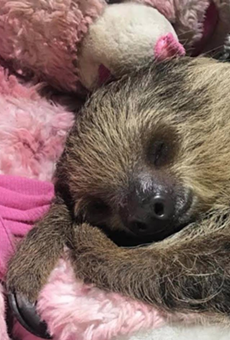 San Antonio Aquarium Welcomes Adorable Sloth, Here's How You Can Meet Her