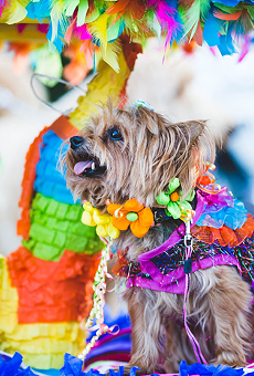 Fiesta traditions like El Rey Fido continue via livestream technology.