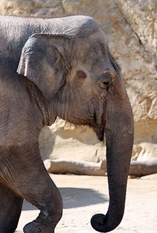 The zoo's lone elephant, Lucky, is too old and ailing to be moved, Morrow said.