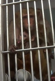 The animal right's group Stop Animal Exploitation Now (SAEN) acquired records showing seven animals have died at the Texas Biomedical Research Institute in three years.