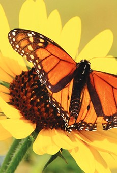 SAWS Spring Bloom Combines Monarchs and Water Conservation