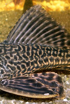 A suckerfish, also known as Hypostomus plecostomus, was found in a Southeast Side apartment.