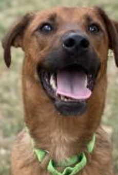 Labrador Retriever mix Aristotle is one of the dogs available for adoption.