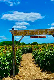 Traders Village San Antonio debuts new, 10-acre sunflower field with maze and other activities