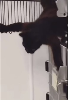 South Texas animal shelter shares clip of clever cat's Mission Impossible-esque escape attempt
