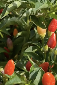 The San Antonio Botanical Garden is bringing the heat with its second Pequeño Pepper Day event.