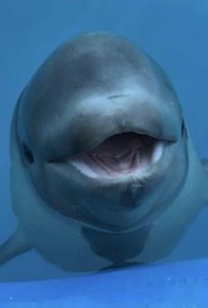 Tyonek the Cook Inlet beluga whale