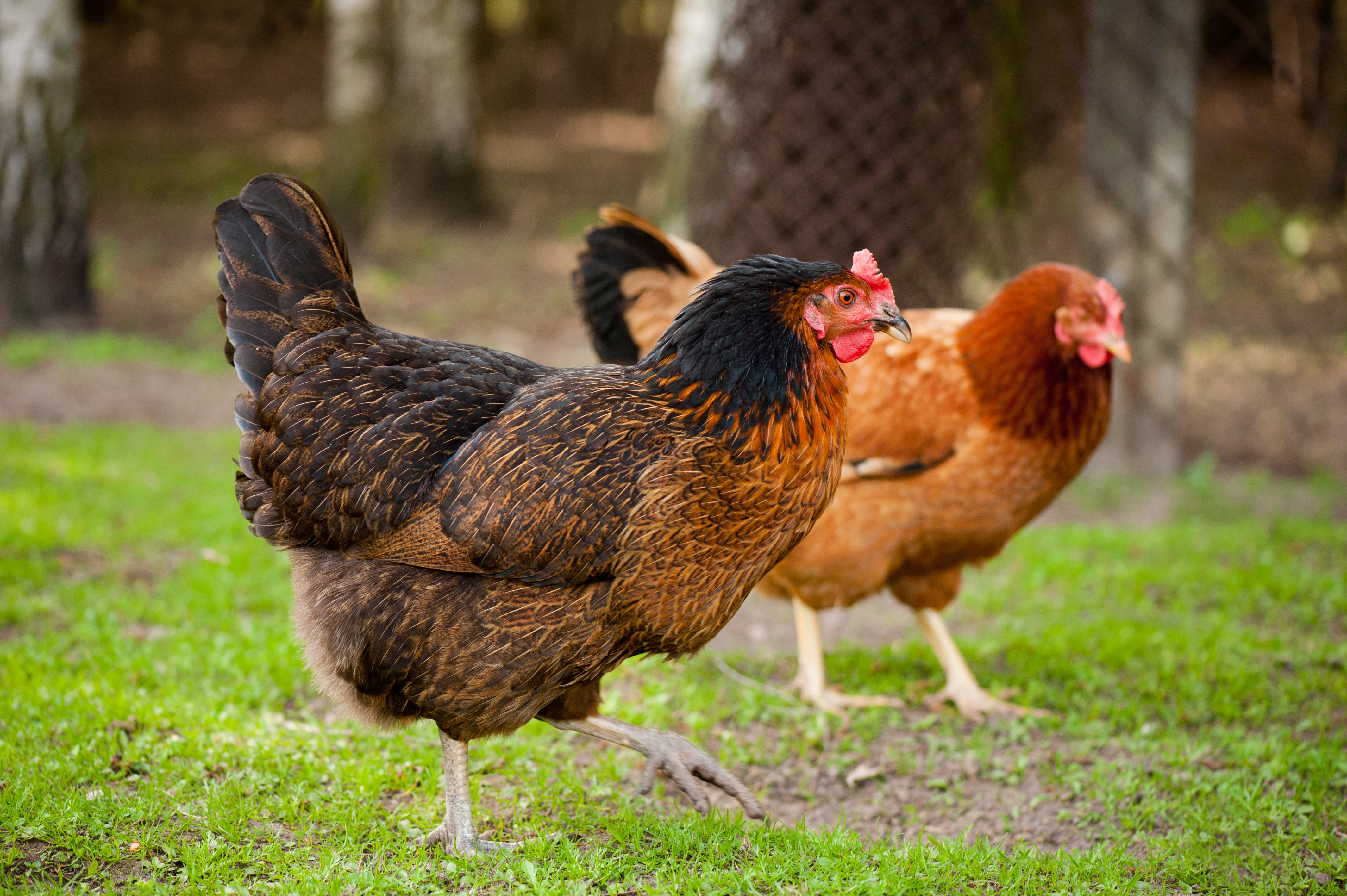Follow the Chickens: San Antonio Coop Tour Launches Next Month