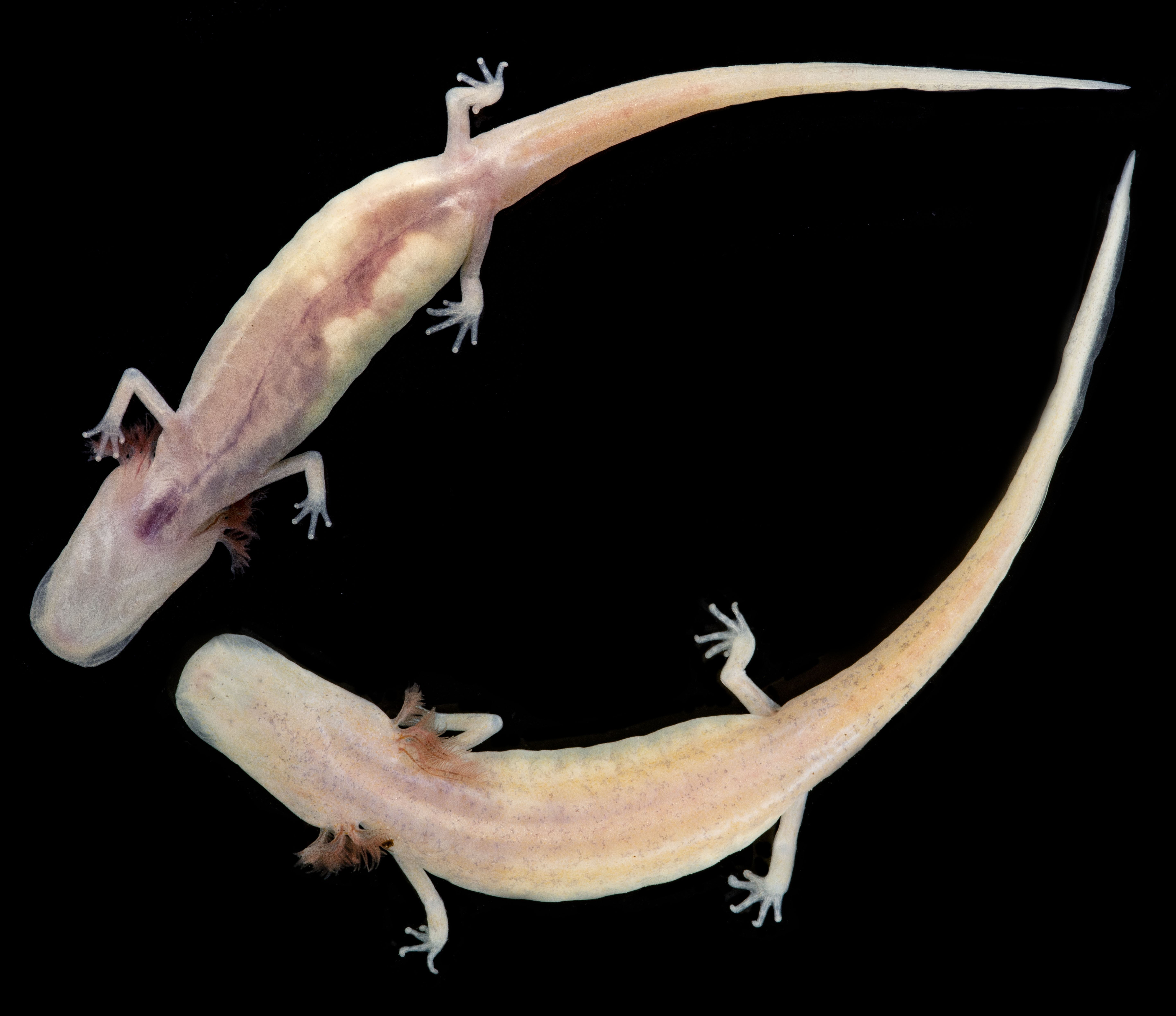 Georgia Blind Salamander Bred in Captivity for the First Time at the San Antonio Zoo