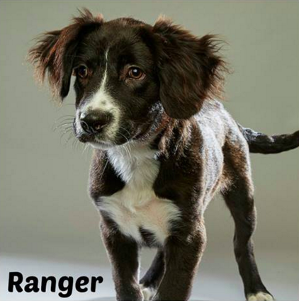 Ranger is one of three SA-native dogs to participate in this year's Puppy Bowl. - FACEBOOK/ALAMO RESCUE FRIENDS