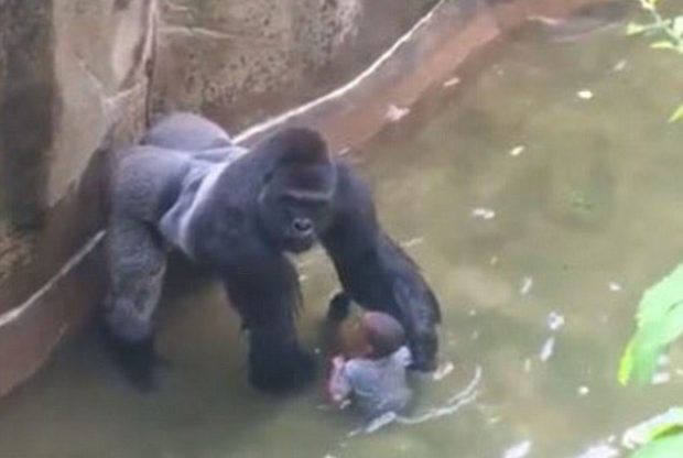 This is Harambe, a gorilla from the Cincinnati Zoo that was shot and killed in June after a small boy fell into its enclosure. The deceased primate is tied with Green Party presidential nominee Jill Stein in a recent Public Policy Polling survey. - YOUTUBE SCREENGRAB