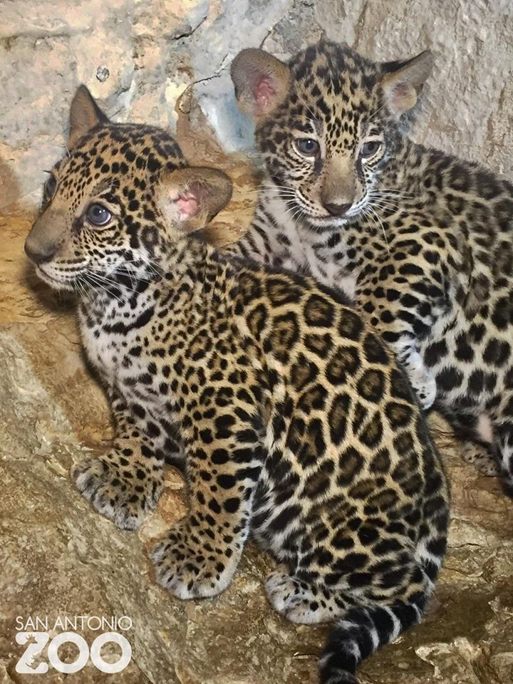 Jaguar San Antonio >> Tony Parker Named The San Antonio Zoo S Newest Jaguar Cubs