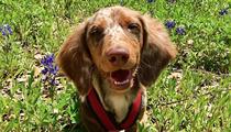 Retama Park Hosting Wiener Dog Race to Benefit Dachshund Rescues