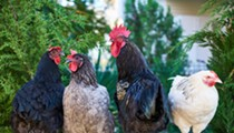 Do You Know Where Your Chickens Are? Twitter User Alerts San Antonio About Flock on the Loose