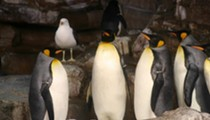 Penguin-cam and chill: SeaWorld San Antonio and KSAT introduce 24/7 penguin livestream