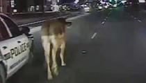 Video: Errant San Antonio Cow Makes National News