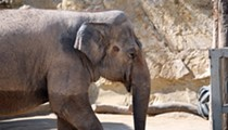 Federal Judge Denies San Antonio Zoo's Motion to Dismiss Lawsuit over Lucky the Elephant