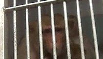 USDA Report: Infant Baboon Killed at Texas Biomedical Research Institute
