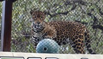 New Neotropica realm featuring endangered jaguars debuts at the San Antonio Zoo on Friday