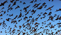 Mexican Free-Tailed Bats Could Be Safe From Bat-Killing Fungus Recently Found in Texas