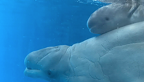 SeaWorld Has a New Baby Beluga Whale
