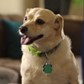 Try To Watch This Video Of Paraplegic Dog In A Diaper And Not Cry