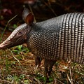 East Texas Man Shot After Bullet Ricochets Off Armadillo