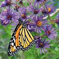 SA Zoo to Host City's First Milkweed and Migration Festival to Promote Monarch Butterflies