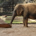 Animal Rights Group Files USDA Complaint Over the San Antonio Zoo's Newest Elephant