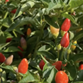 San Antonio Botanical Garden to heat things up Saturday with Pequeño Pepper Day event