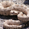 Woman Finds Four-foot Rattlesnake Near Home Outside of San Antonio, Kills it With Shotgun