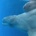 SeaWorld Has a New Baby Beluga Whale