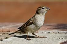 house_sparrow04.jpg