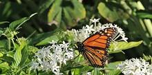 5b290e31_monarch-butterfly.jpg