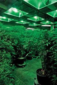 A bountiful harvest at Denver's Medicine Man dispensary